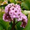 bergenia-cordifolia-flower2
