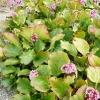 bergenia-cordifolia-plant1