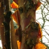 betula-albosinensis-red-panda-stem1