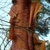 betula-albosinensis-red-panda-stem3