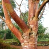 betula-albosinensis-red-panda-stem4