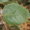 betula-utilis-var-jacquemontii-leaf1