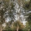 betula-utilis-var-jacquemontii-plant1