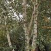 betula-utilis-var-jacquemontii-stem2