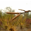 betula-utilis-flower1