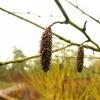 betula-utilis-flower2