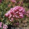 centranthus-ruber-flower1