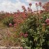centranthus-ruber-plant1