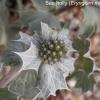eryngium-maritima-flower1