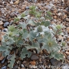 eryngium-maritima-plant1