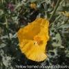 glaucium-flavum-flower1