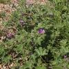 malva-sylvestris-plant1
