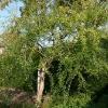 buddleja-alternifolia-plant1