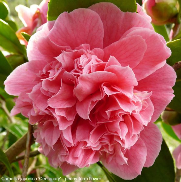 Types Of Flower Arrangement Shapes: Camellia Inflorescence Types