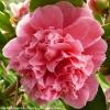 camellia-japonica-centenary-peony-form-flower
