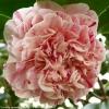 camellia-japonica-little-bit-anemone-form-flower