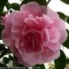 camellia-japonica-pink-bouquet-rose-form-flower