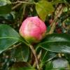 camellia-japonica-alexander-black-bud1