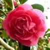camellia-japonica-alexander-black-flower1