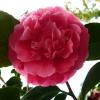 camellia-japonica-alexander-black-flower2