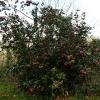 camellia-japonica-alexander-black-plant1