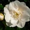 camellia-japonica-andromeda-flower1