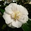 camellia-japonica-andromeda-flower2
