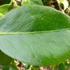 camellia-japonica-andromeda-leaf1