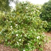 camellia-japonica-andromeda-plant1