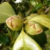 camellia-japonica-augusto-leal-de-gouveia-pinto-bud1