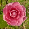 camellia-japonica-augusto-leal-de-gouveia-pinto-flower1