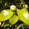 camellia-japonica-brushfields-yellow-bud1
