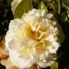 camellia-japonica-brushfields-yellow-flower1