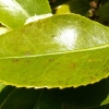 camellia-japonica-brushfields-yellow-leaf1