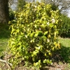 camellia-japonica-brushfields-yellow-plant1