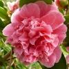 camellia-japonica-centenary-flower1