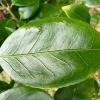 camellia-japonica-centenary-leaf1