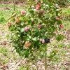 camellia-japonica-centenary-plant1