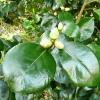 camellia-japonica-conspicua-bud1