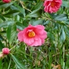 camellia-japonica-conspicua-flower1