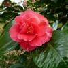 camellia-japonica-conspicua-flower2