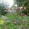 camellia-japonica-conspicua-plant1