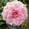 camellia-japonica-duchesse-decazes-flower1
