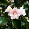 camellia-japonica-fleur-dipater-flower2