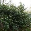 camellia-japonica-fleur-dipater-plant1