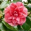 camellia-japonica-frans-van-damme-flower1