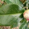 camellia-japonica-frans-van-damme-leaf1