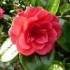 camellia-japonica-great-eastern-flower1