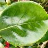 camellia-japonica-great-eastern-leaf1