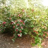 camellia-japonica-great-eastern-plant1